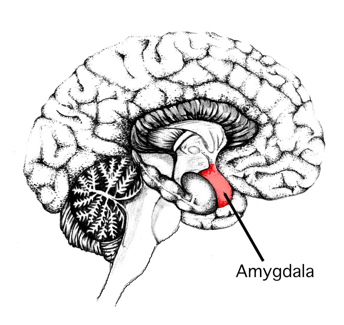 amygdala change anxiety
